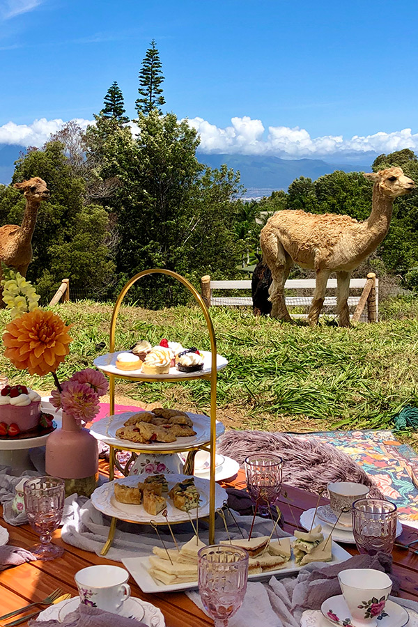 Alpaca Parties and Picnics