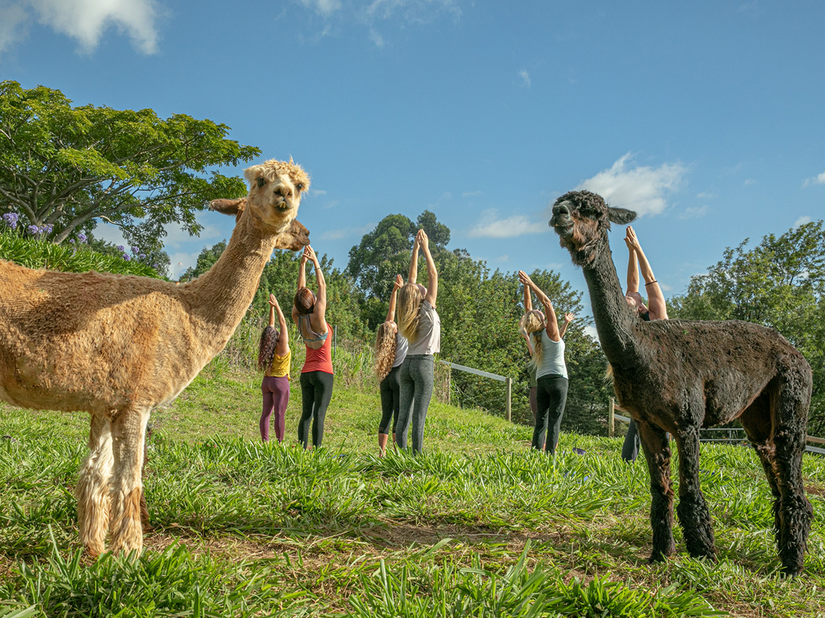 Healing Sessions with the Alpaca